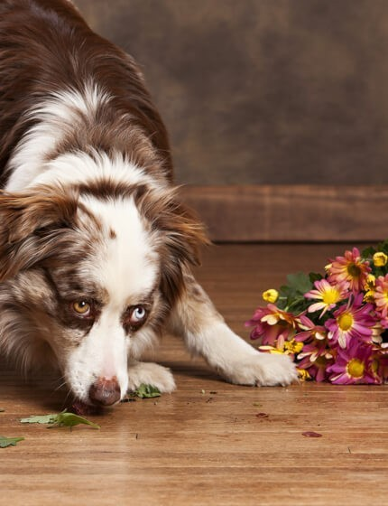 Pet on hardwood floor | Markville Carpet & Flooring